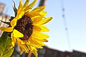 sunflowers_ann_bassette_IMG_2452